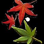 Ahornblätter Hintergrund